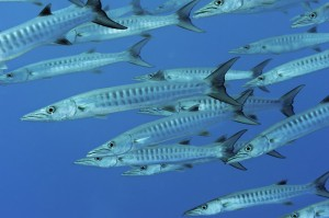Barracuda fish swim in waters off Nikumaroro Island.